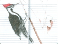 3_pileated-woodpecker-001.jpg